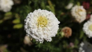 Photo of Alla scoperta della Camomilla romana, la pianta che aiuta a dormire, calma i nervi e allevia le infiammazioni
