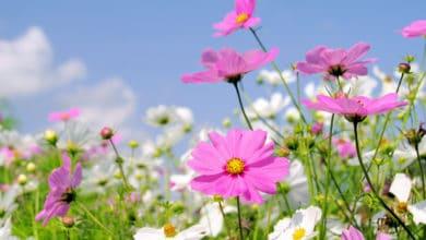 Photo of Cosmea il fiore dell'estate che non teme il caldo