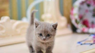 Photo of Gatto Munchkin: caratteristiche, carattere e consigli su come allevare il gatto dalle zampe corte