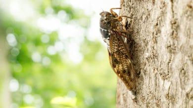 Photo of Cicala: quello che c'è da sapere su questo insetto estivo