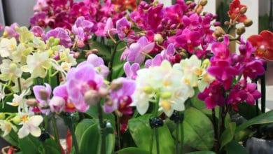 Photo of Phalaenopsis: una pianta facile da coltivare e apprezzata per i suoi bellissimi fiori