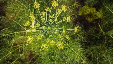 Photo of Finocchio selvatico: i segreti di questa pianta spontanea aromatica utilizzabile in cucina e come erba officinale