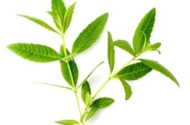 Erba Luigia, erba aromatica dal gradevole odore di limone