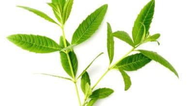 Photo of Erba Luigia, erba aromatica dal gradevole odore di limone