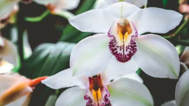 Photo of Tutto sul Cymbidium, l'orchidea facile da coltivare
