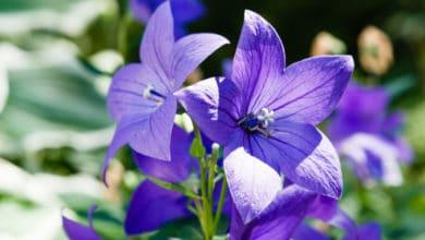 Photo of Alla scoperta del Platycodon, la pianta dagli splendidi fiori blu, a stella o a campanula