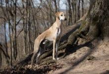 Photo of Levriero arabo, conosciuto anche come sloughi, è un cane nordafricano snello ed intelligente