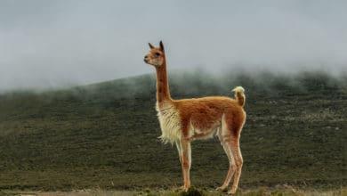 Photo of Vigogna, la lana più sottile, sofisticata e preziosa del mondo