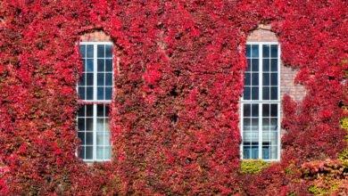 Photo of Tutto sulla vite americana, la pianta che in autunno si tinge di rosso