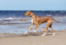 Photo of Tutto sull'Azawakh, un cane di origine africana, parente del levriero arabo