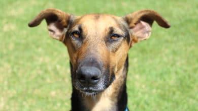 Photo of Cane Africanis: il cane che viene dal Sudafrica