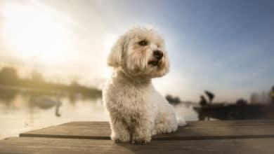 Photo of Tutto sul Coton de Tulear, un piccolo cane tenero e affettuoso