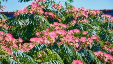 Photo of Tutto sull'albizia, la pianta che viene dall'Iran dalle benefiche proprietà