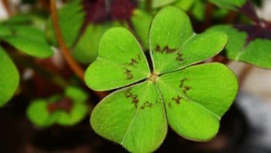 Photo of Quadrifoglio e Oxalis tetraphylla: come riconoscerli e che differenze esistono