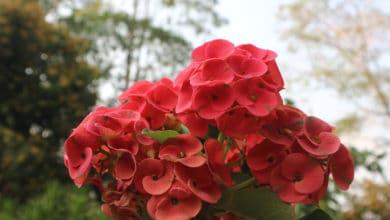 Photo of Le diverse varietà di euphorbia, dalle più decorative a quelle più facili da coltivare