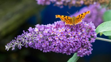Photo of Buddleia, tutto sull'albero delle farfalle riconoscibile per i suoi meravigliosi fiori colorati