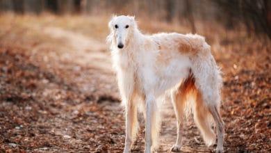 Photo of I vari tipi di levriero, il cane dal portamento fiero e regale che ama correre