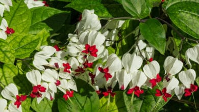 Photo of Come coltivare il Clerodendro, una pianta altamente decorativa