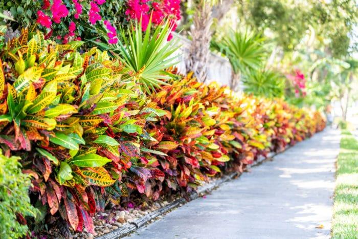 croton variegato o Codiaeum variegatum