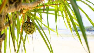 Photo of Tutto sul Pandano, la pianta tropicale per il pollo alla thailandese e che fa passare il mal di testa
