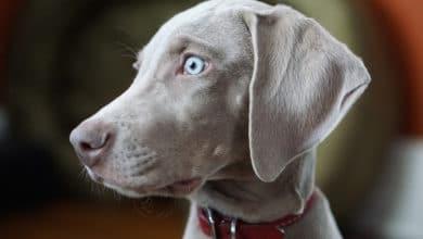 Photo of Segugio grigio, il cane elegante e dagli occhi di ghiaccio