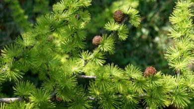 Photo of Larice: molto elegante, è uno degli alberi secolari più apprezzati