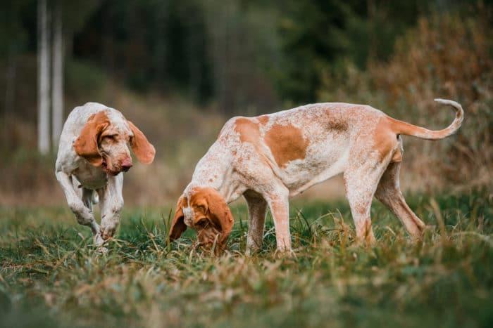 Razze canine italiane bracco italiano