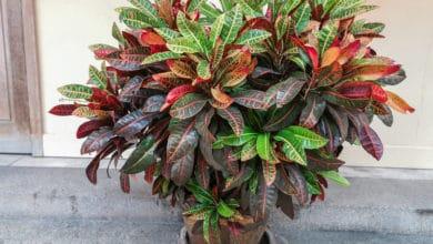 Photo of La pianta di Croton, una diffusa pianta da appartamento dalle bellissime foglie variegate
