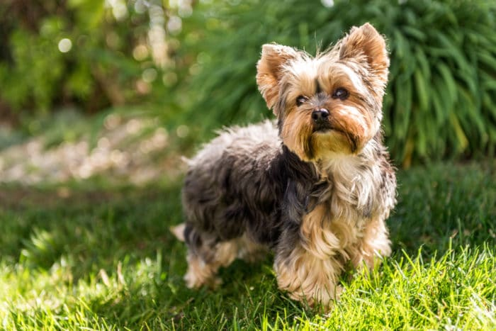 yorkshire terrier cane inglese