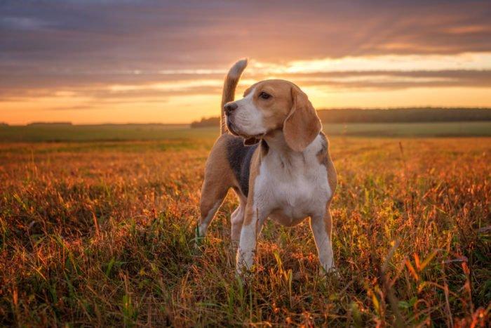 cane inglese beagle