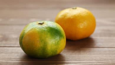 Photo of Tutto quello che c'è da sapere sul miyagawa, il frutto a metà tra un pompelmo e un mandarino