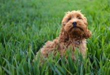 Photo of Cockapoo o Spoodle, un cane da compagnia tutto da scoprire