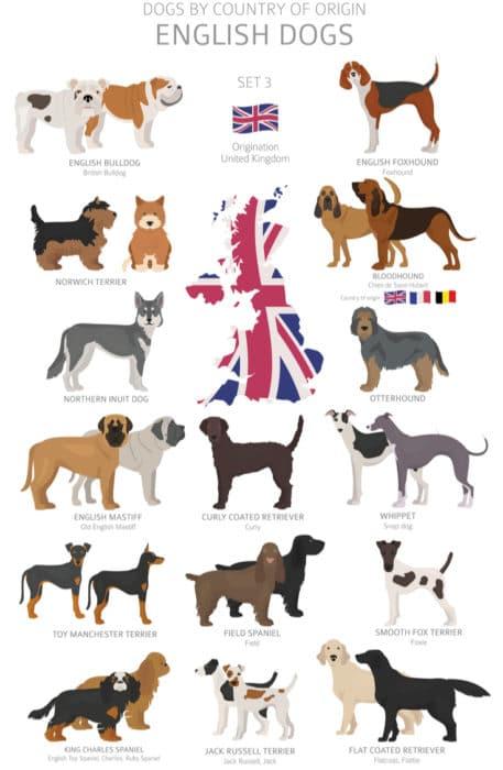 cane inglese infografica
