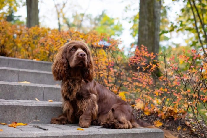 sussex spaniel cane inglese