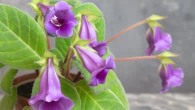 Photo of Alla scoperta della gloxinia, la pianta dai coloratissimi fiori a campanula