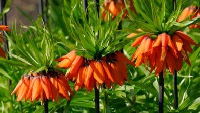 Photo of La Fritillaria, una pianta ornamentale dal design particolare e dagli splendidi fiori esotici