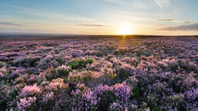 Photo of Brughiera, tutto sull'affascinante paesaggio tipico della Scozia e dell'Inghilterra