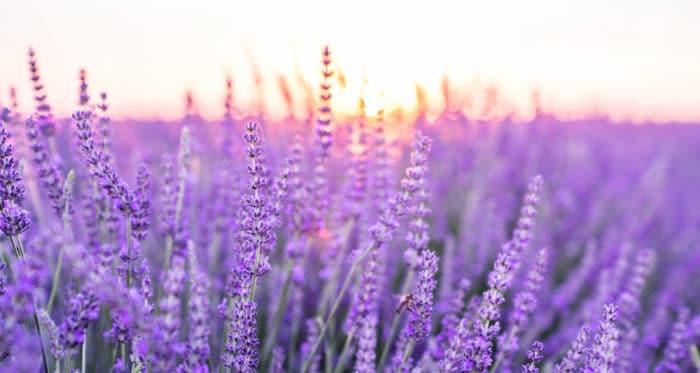 fiori lilla lavanda