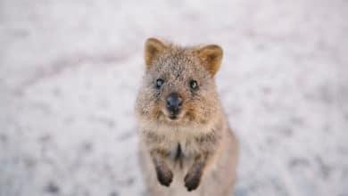 Photo of Alla scoperta del quokka, l'animale più felice al mondo che è diventato virale sui social