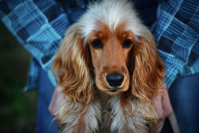 cocker spaniel cane inglese