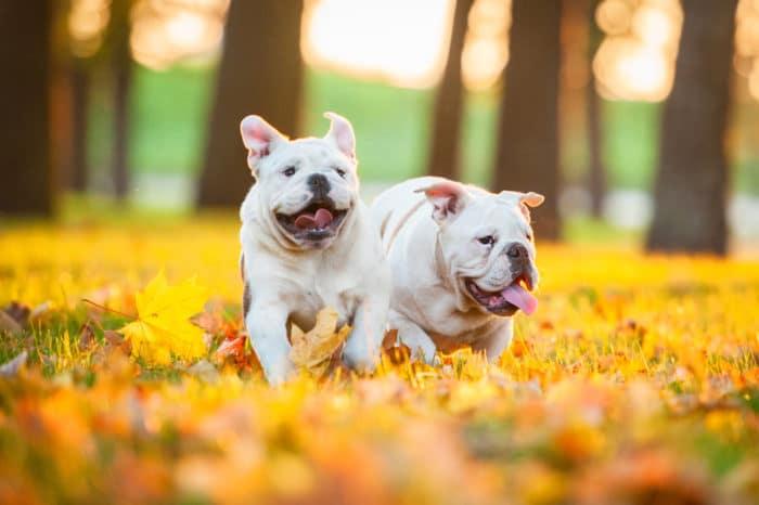 bulldog inglese cane inglese