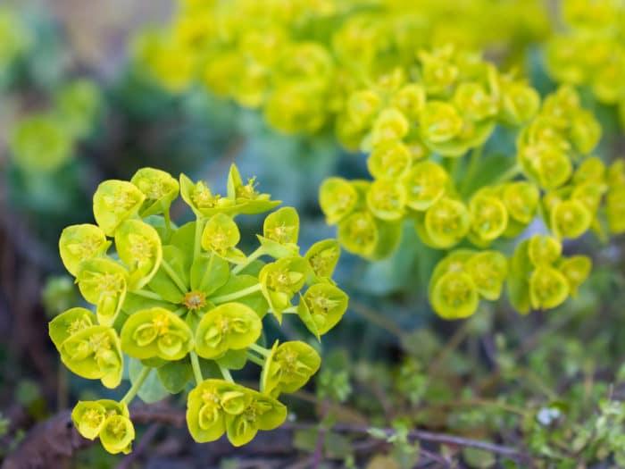 Fiori verdi: Euphorbia myrsinites