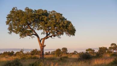 Photo of La pianta di Marula, il cui frutto serve per preparare il famoso liquore sudafricano