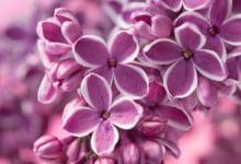 Photo of Fiori lilla, perfetti per matrimoni dal sapore retrò e in stile shabby-chic