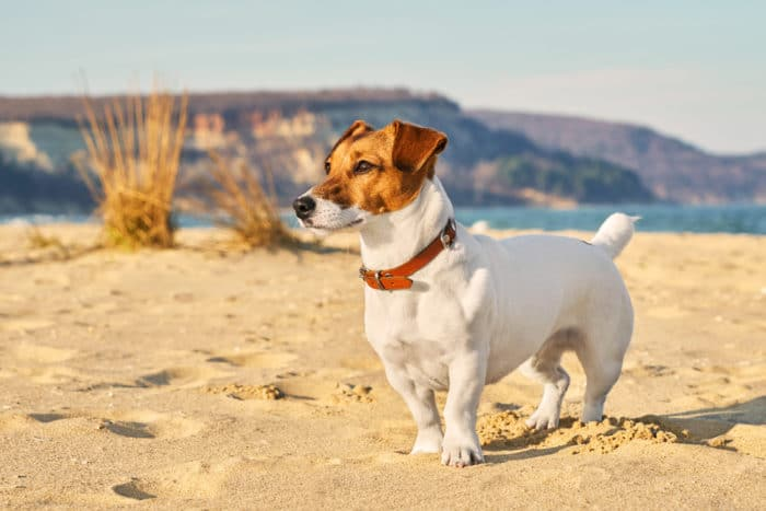 cane inglese jack russell