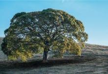 Photo of Copaiba: la pianta da cui si ricava un olio dalle innumerevoli proprietà