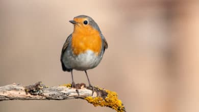Photo of Tutto sul pettirosso, l'uccellino simbolo dell'inverno
