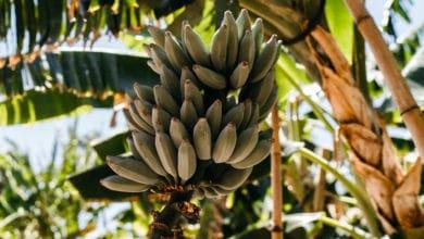 Photo of Platano: il frutto che somiglia alla banana ma che si consuma cotto