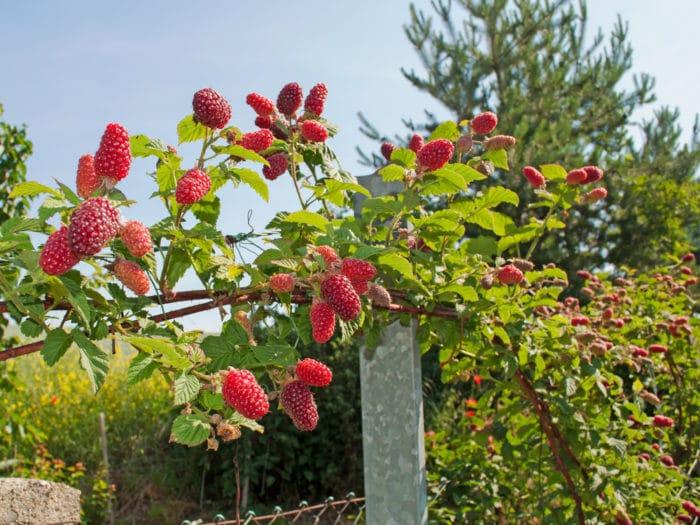 tayberry coltivazione