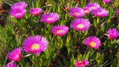 Photo of Alla scoperta del Carpobrotus, la pianta che riveste muri e terreni con meravigliosi fiori sgargianti